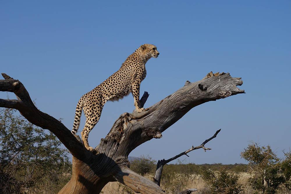1. Báo săn (Cheetah)