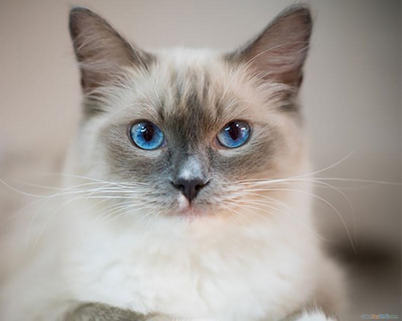 4. Mèo Ragdoll