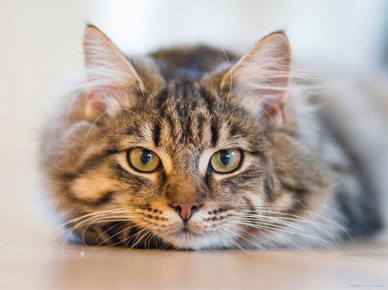 1. Mèo lông ngắn