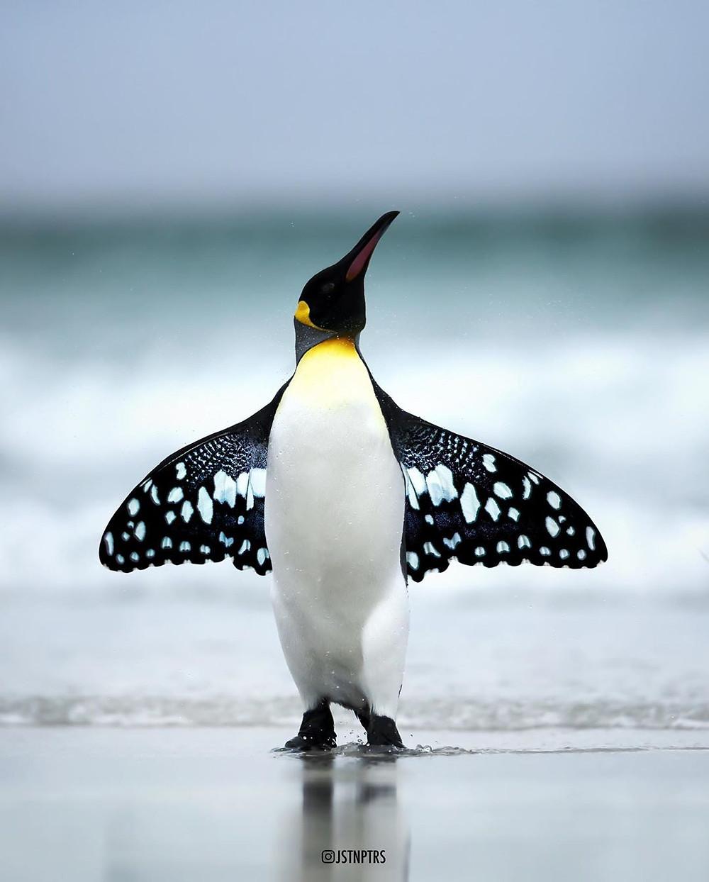 Bướm chim cánh cụt chế tác ảnh của justin peters