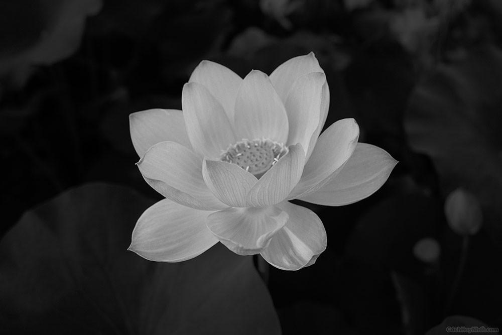 ảnh hoa sen trắng trên nền đen