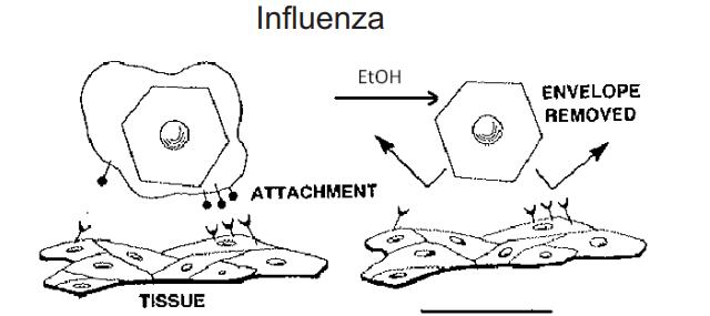 Cồn phá vỡ vỏ bọc của virus và khiến nó bị bất hoạt khi không còn còn các thụ thể để lây nhiễm tế bào.