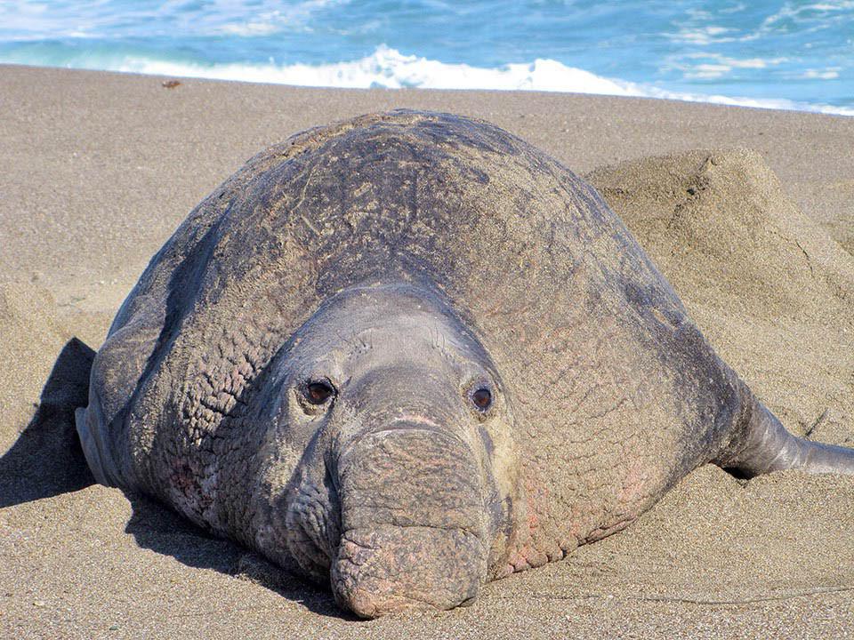 Hải cẩu voi phương Nam
