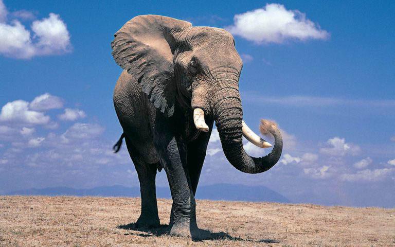 2. Voi Châu Phi