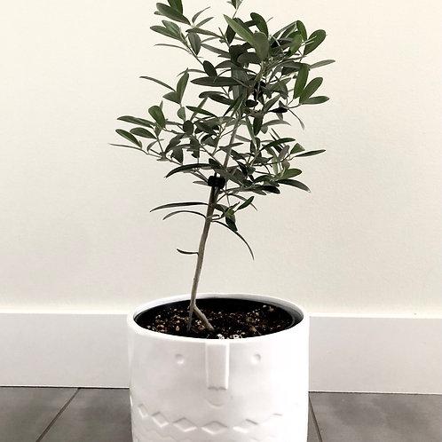 European olive plant