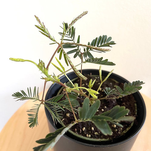 Mimosa pudica-Sensitive plant