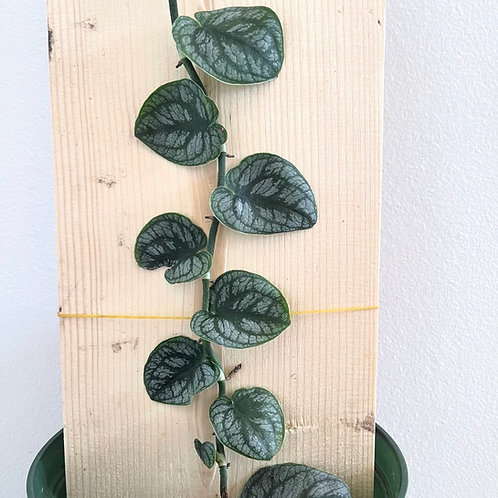 Monstera dubia on plank