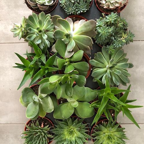 Succulents-assorted