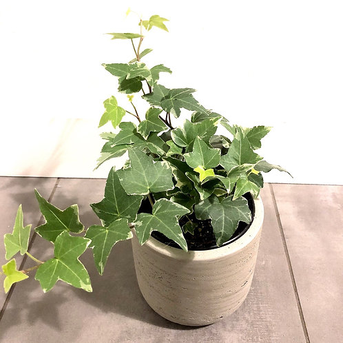 English ivy-variegated