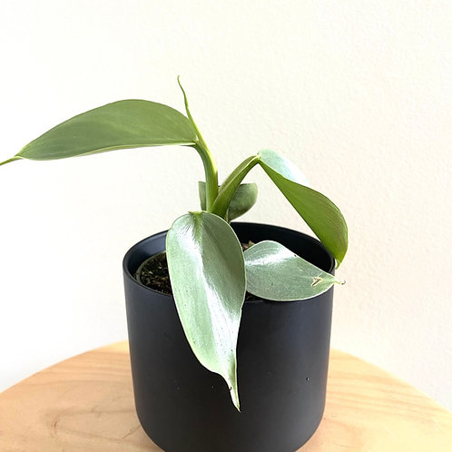 Philodendron hastatum (silver sword)