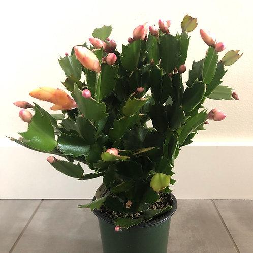 Zygo cactus -assorted
