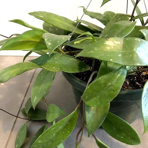 Hoya publicalyx