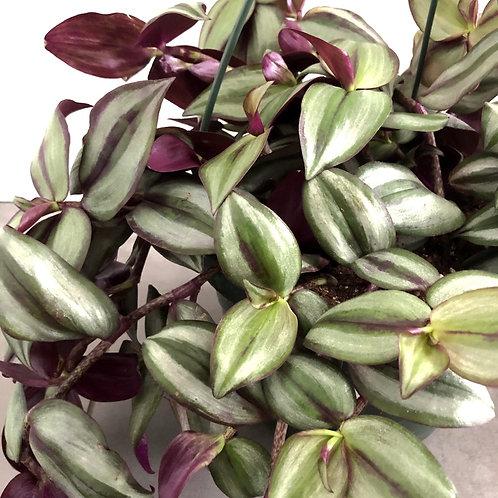 Tradescantia -purple variegated