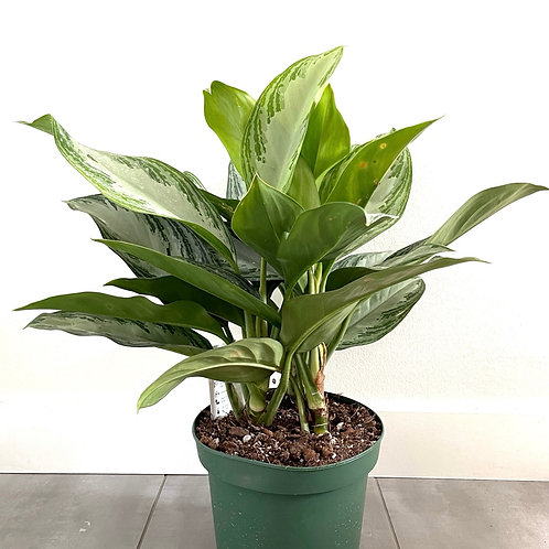 Chinese evergreen-silver bay