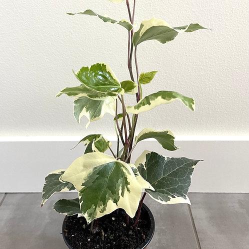 Ivy-marengo