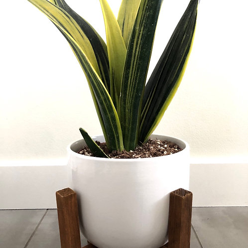 Assorted sansevieria in ceramic w/stand