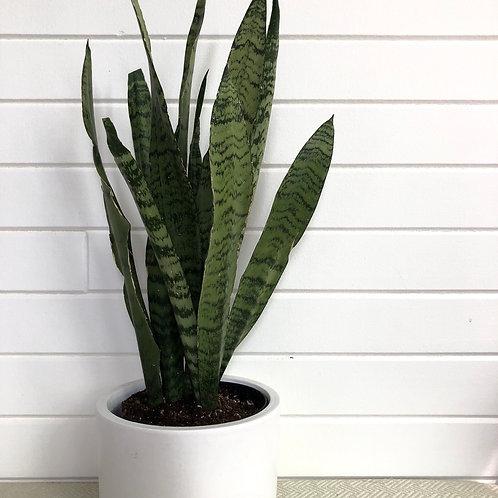 Sansevieria Trifasciata green-snake plant