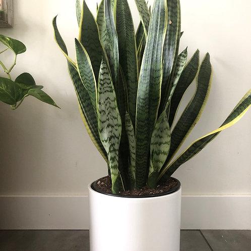 Sansevieria Laurentii -snake plant