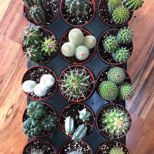 4 inch cactus-assorted
