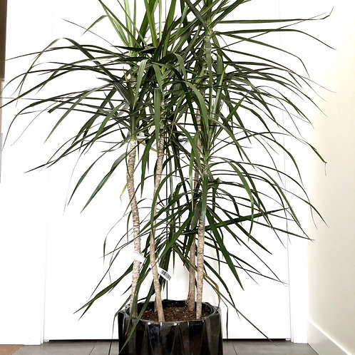 Dracaena Marginata -Dragon tree