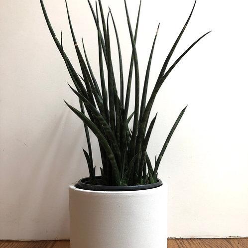 Sansevieria Fernwood -snake plant