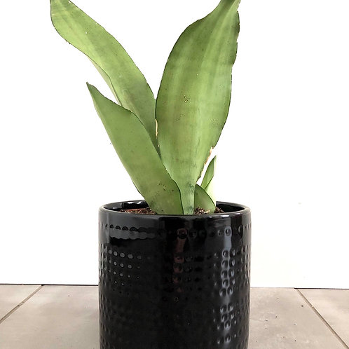 dotted black dolomite planter