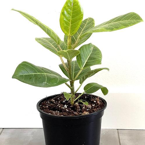 Ficus altissima variegated