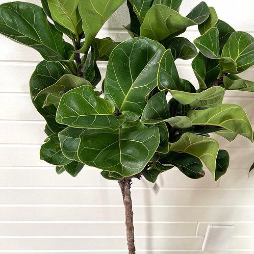 Ficus Lyrata Little Fiddle