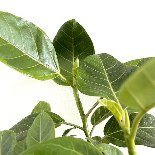 Ficus yellow gem bush
