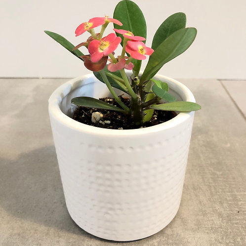 Dotted stripes dolomite planter