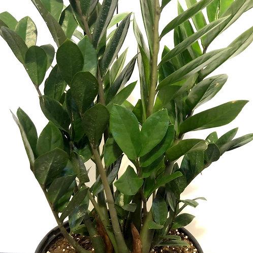 Zamioculcas Zamifolia (zz)