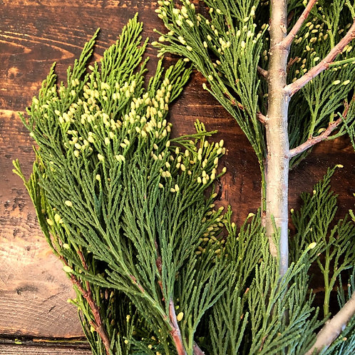 Incense cedar stem