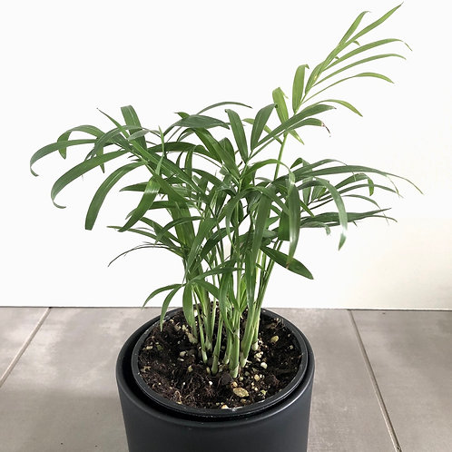 Neantha Bella Palm