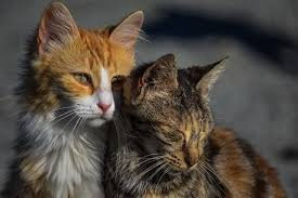FeLV Leucemia Virale Felina Ag + FIV Immunodeficienza felina Ab