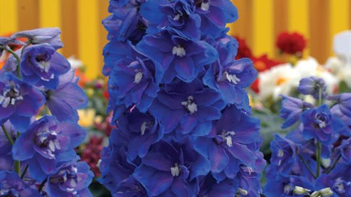 "Delphinium ""Blue Guardian"""