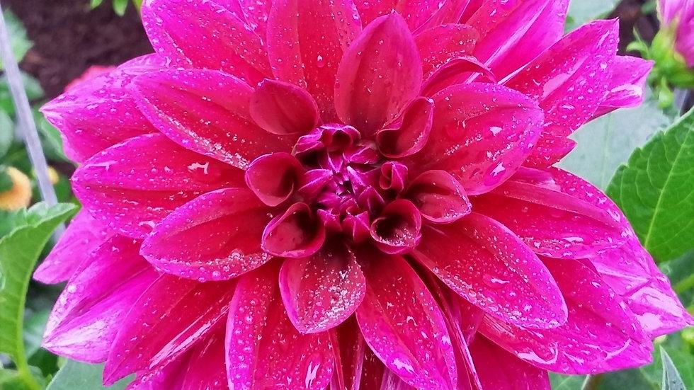 Weekly Summer Flower Share
