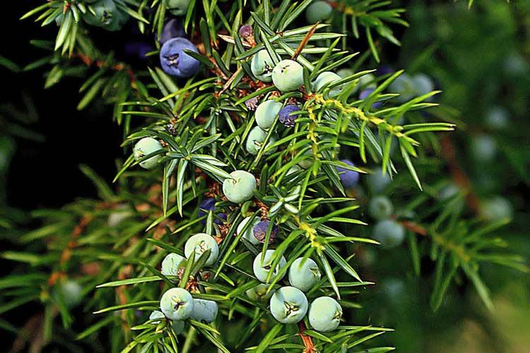 Anti Inflammatory Juniper Berry