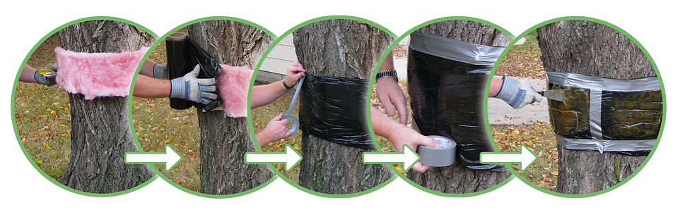 trees, eco-friendly, environmentally friendly, eco-safe, sustainable, tree bands, tree banding, tree wrap, insect control, canker worms, moths, worms, gypsy moth, tent caterpillar, caterpillar, leaves, leaf, bark, tree trunk, outdoors, pest control, insect control