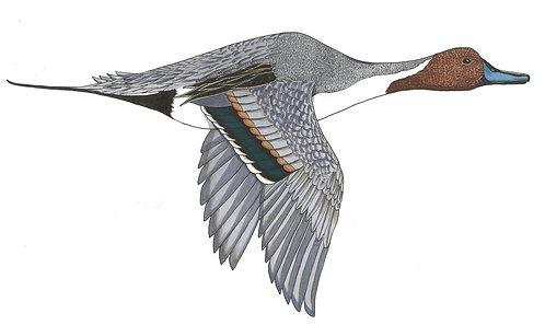 Pintail Illustration