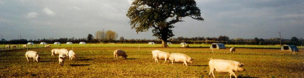 1990-Pigs-GrangeFarm.jpg