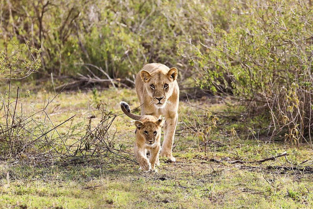 A lioness and a cub walk in Tanzania.