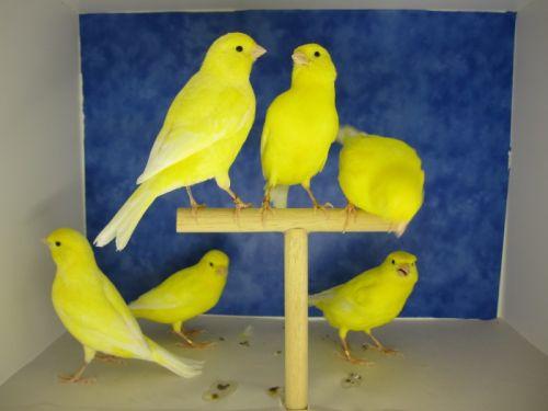 Canaris jaunes