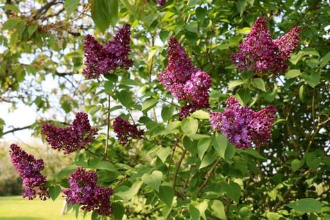 Le lilas du jardin, gîte charme normandie calvados, la Blanchetière
