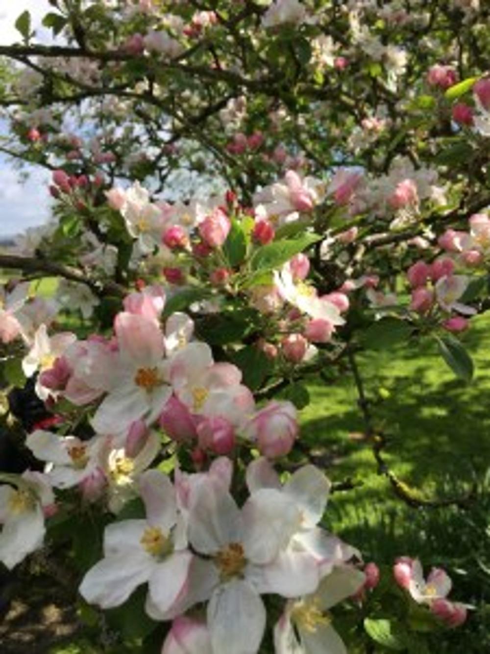La Blanchetière pommiers en fleurs campagne pays d'auge