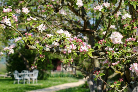 A l'heure du thé sous les pommiers fleuris, la Blanchetière gîte de charme en Normandie Calvados