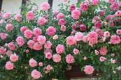 Le rosier grimpant de la Blanchetière, gîte de charme Normandie Calvados