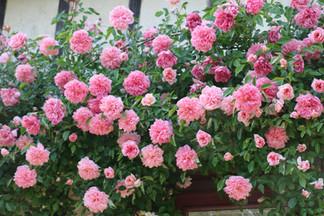 La_Blanchetière_rosier_fleuri.jpg