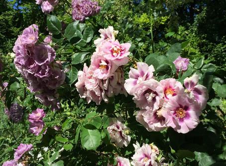 Fleur d'été : la Rose-Trémière …