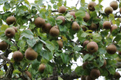 Les délicieuses poires du jardin, gîte charme normandie calvados, la Blanchetière