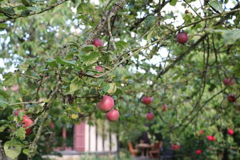 Les pommes Calville du jardin, gîte charme normandie calvados, la Blanchetière